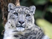 Portarit Snow Leopard, Uncia Ucia