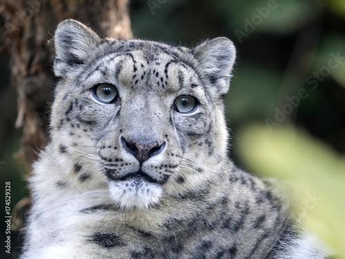 Obraz premium portarit Snow leopard, Uncia ucia