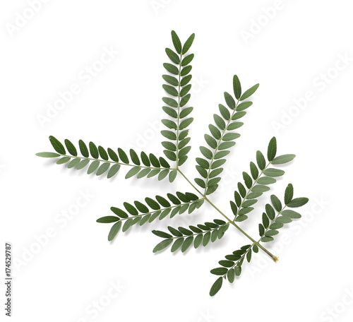 Acacia Leaves With Branch Isolated On White Background Top View