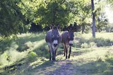 Two Cute Mini Donkeys Walking Through Western Farm Pasture.