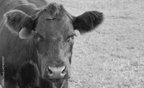 Angus Bull Calf Black and White Canvas Print