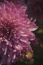 Impossible Purple Chrysanthemum