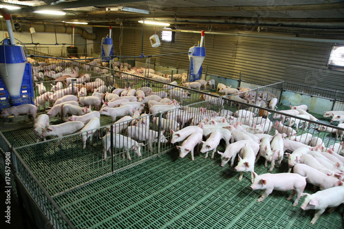 Fotografie, Obraz  Industrial pig farm for breeding little hogs