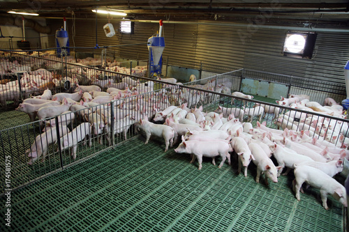 Obraz na plátně  Industrial pig farm for breeding little hogs