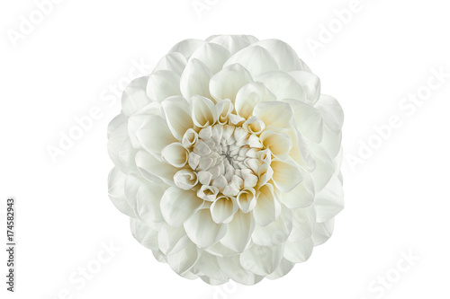 white dahlia flower on a white background
