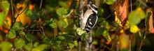 Male Downy Woodpecker In Autum...