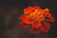 Burnt Orange Marigold