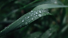 Blade Of Grass Covered In Dew Drops