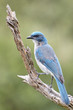 Mexican Jay on Branch