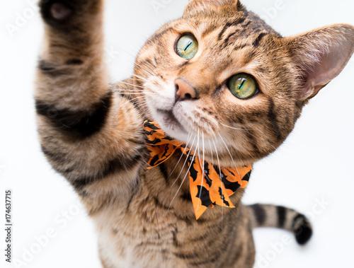 Plakat Halloweenowy kot na białym tle