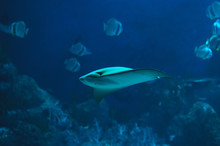 Cownose Ray Swimming In The Deep Blue
