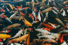 Many Koi Fish Swimming At Holy...