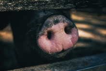 Pig Snout Behind A Fence (clos...