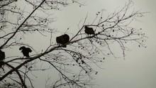Turkey Vulture In Dead Pine Tree