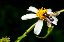 Close Up Shot Of A Bee Collecting Nectar On Flower