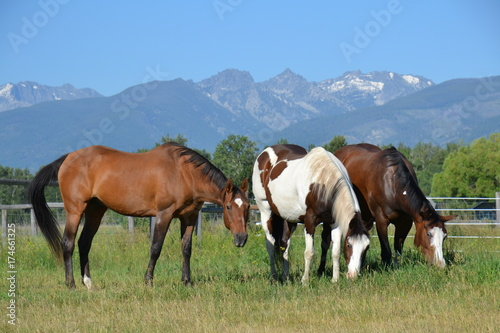 Grazing Herd of Horses with Mountains in Montana