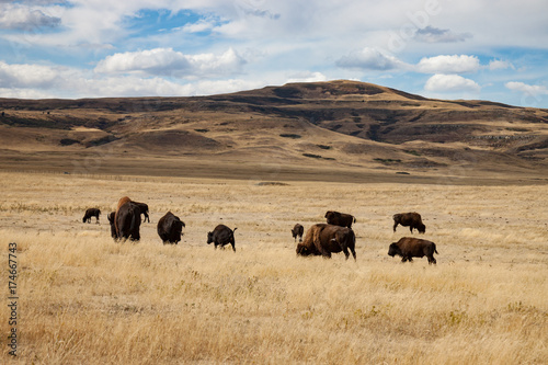 Canvas Prints Bison Herd of Bison in Southern Alberta Under Blue Sky