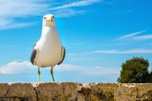 Seagull Portrait Against A Blu...