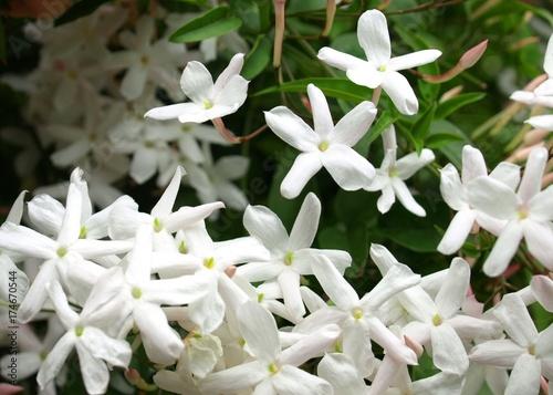 Fotografie, Obraz  美しい羽衣ジャスミンの花、クローズアップ