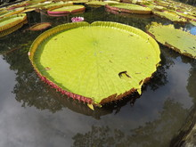 Giant LillyPad