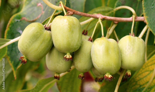 actinidia vitamin berry hardy kiwi Wallpaper Mural