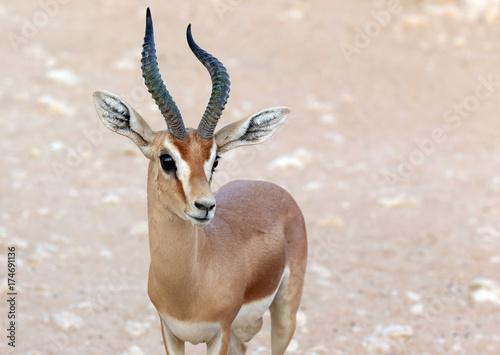Dorcas Antelope