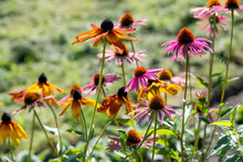 Echinacea Flowers And Rudbeckia Grow In The Garden