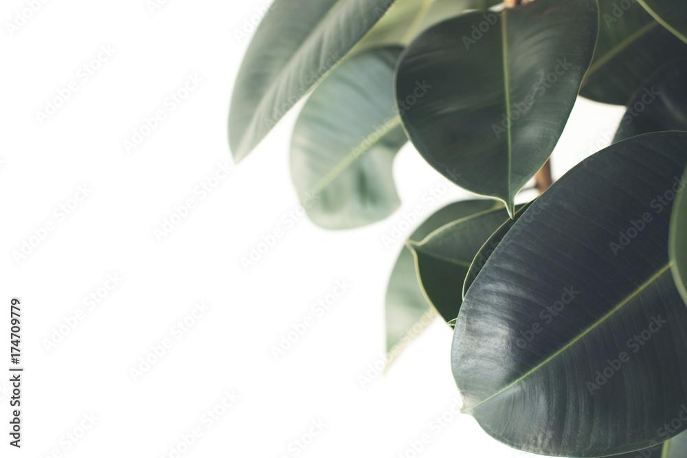 Fototapety, obrazy: ficus plant