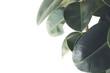 canvas print picture - ficus plant