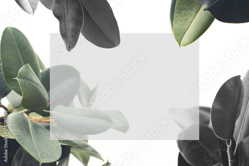 Poster Fleur ficus plant with blank card