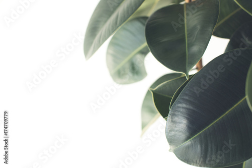 Recess Fitting Plant ficus plant