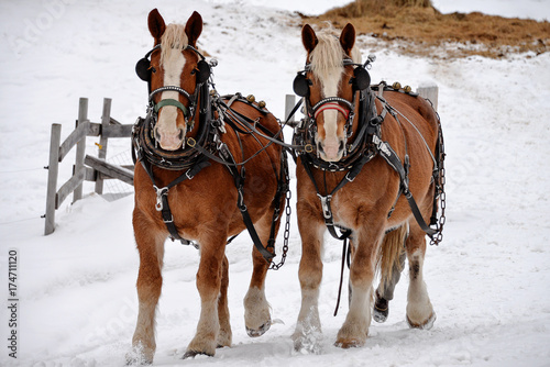 Valokuvatapetti Two Clydesdale In Winter