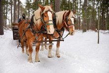 Two Horses Pulling Sleigh
