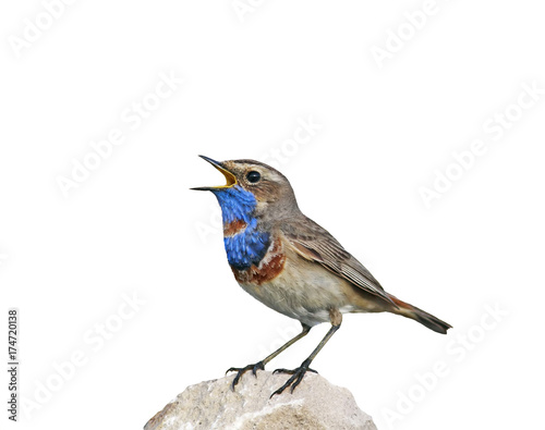 portrait of a bright bird, the Bluethroat is on the rock and sings on an isolated white background