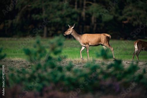 Poster Deer Red deer hind (cervus elaphus) walking in field.