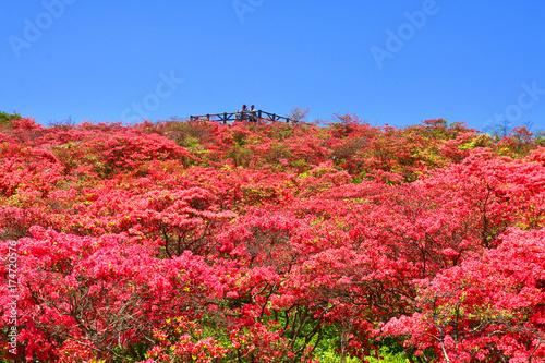 Fototapeta Azalia Takashinsan (Tamura-shi Ohchi-cho, Ono-machi)