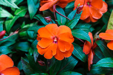 Orange New Guinea Impatiens.