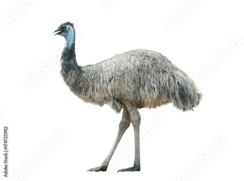 La pose en embrasure Autruche Emu isolated over a white background