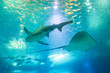 canvas print picture - Bottom view of a Big Shark and Sting Ray or Myliobatis aquila, swimming under blue ocean. Underwater blue background. Undersea marine life.