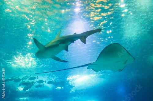 Plakat Widok z dołu Big Shark i Sting Ray lub Myliobatis Aquila, pływanie pod błękitnym oceanem. Podwodne niebieskie tło. Podwodne życie morskie.