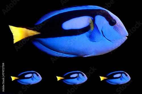 Fotografie, Tablou  Blue Tang (paracanthurus hepatus)