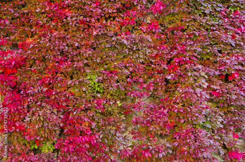Fotografie, Obraz  Background with red ivy wall, autumnal time, Europe