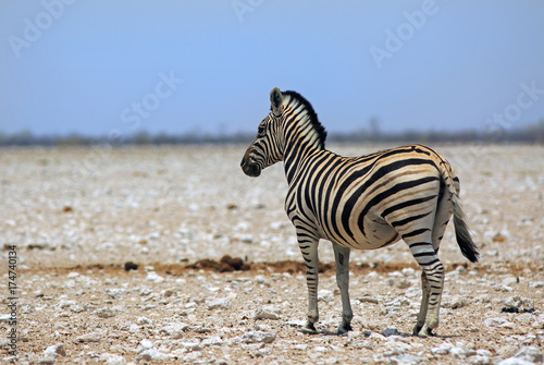 Spoed Foto op Canvas Zebra Isolated Burchell Zebra standing on the open Etosha Pan in Namibia with a clear blue sky