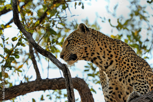 Plakat Lampart je antylopy na drzewie, Kruger park narodowy, Południowa Afryka