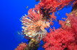 canvas print picture - A colorful Lionfish swimming around vivid pink soft corals growing on a man-made metal chain.