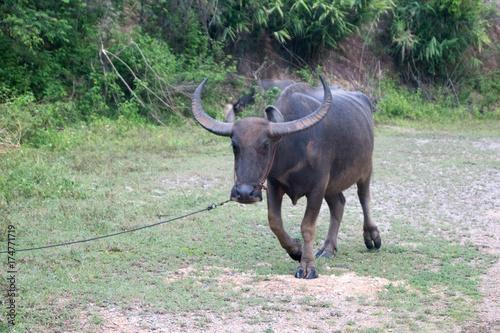 Keuken foto achterwand Olijf water buffalo in Doi Saket