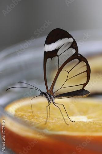 Glasswinged Butterfly Greta Oto At A Food Bowl Mainau Island