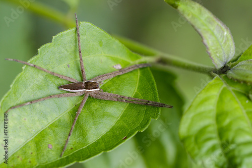 Image of Four-spotted Nursery Web Spider (Dolomedes triton) on a green leaf. Insect Animal