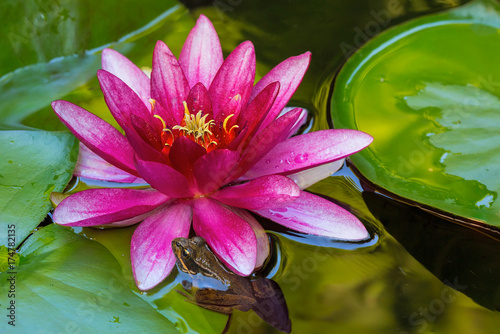 Pacific Tree Frog by Water Lily Flower