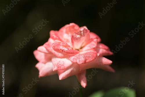 Fototapeta Piękno róży kwiatu okwitnięcie w ogródzie, dekoracja kwiat